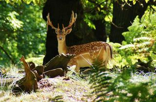 'Richmond deer'