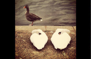 'Swans at the Serpentine'