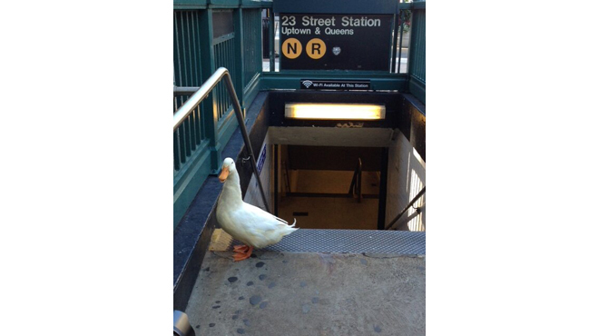 A duck was spotted on a subway platform yesterday