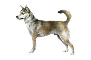 (Illustration: (C) 2013 American Kennel Club)