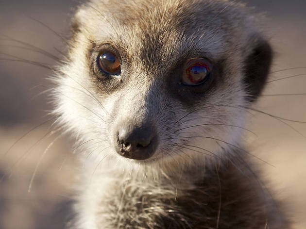Meerkats - Secrets of an Animal Superstar