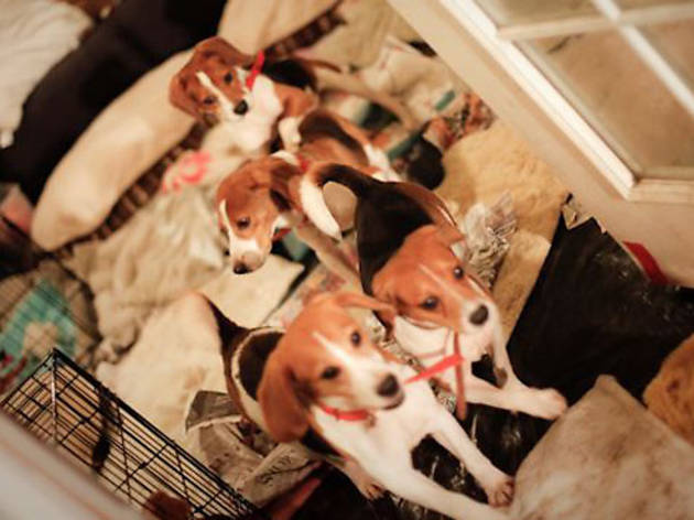Save the Beagles