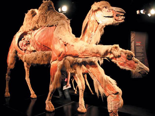 421.wk.at.ea.animal.camel.jpg