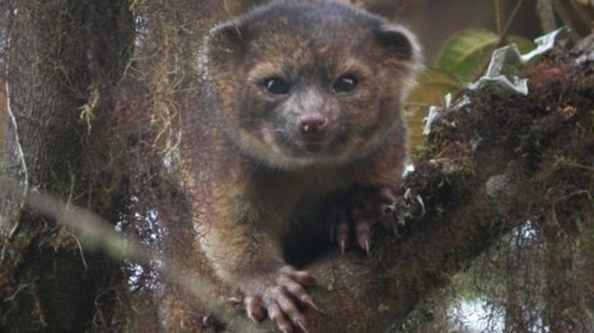 Hi, I'm an olinguito. Nice to meet you.