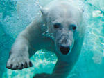 Brookfiled Zoo: Visit the polar bears in the Great Bear Wilderness area of Brookfield Zoo.