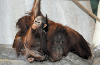 (Photograph: Courtesy of the Brookfield Zoo)