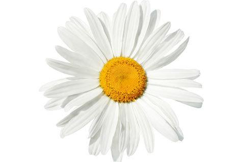 How the margarita flowered