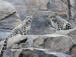 Snow leopard cubs at the Central Park Zoo