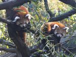 Red panda cubs at the Bronx Zoo