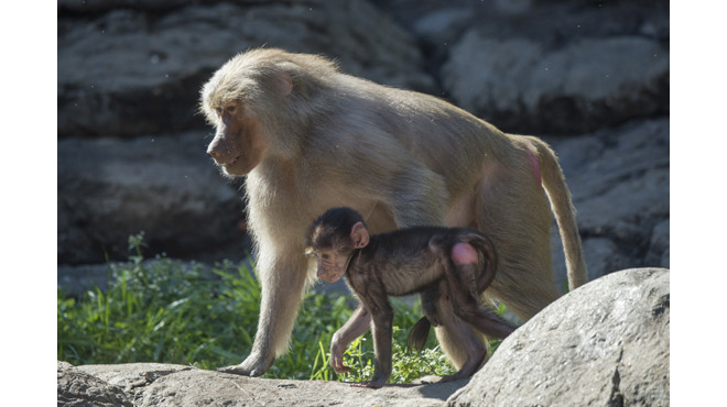 Prospect Park Zoo's newest residents are two Hamadryas baboons