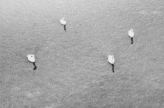 Jochen Lempert ('Untitled (four swans)', 2006)