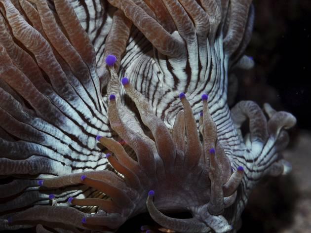 Elegance coral (©  Tim Wijgerde)