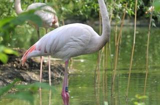 Flamingo (©Tristan Newkey-Burden)