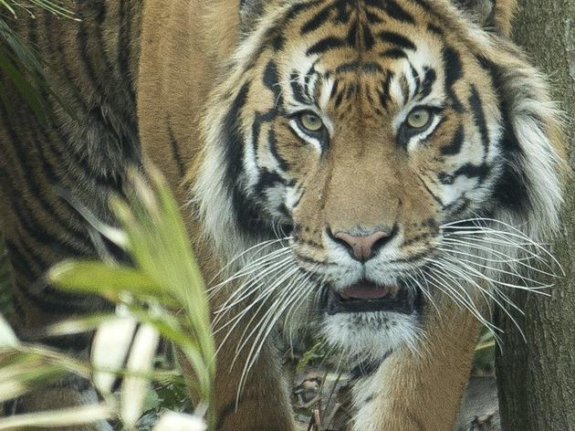 Tiger Territory (©Joel Ryan / ZSL )