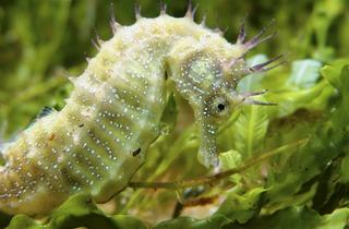 Long Snouted Seahorse (©ZSL)