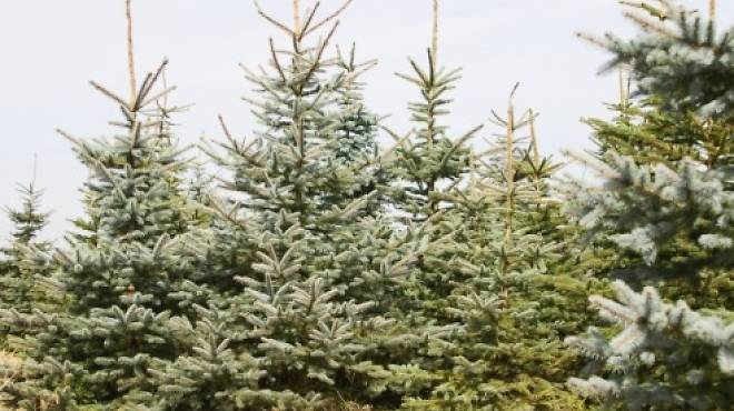 Pick the perfect tree at a Christmas tree farm.