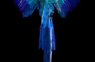 Allan Forsyth ('Pride & Glory, Macaw', 2012)