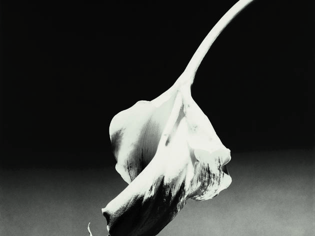 ( 	Robert Mapplethorpe, Calla Lily, 1986 / © Robert Mapplethorpe Foundation. Used by permission )