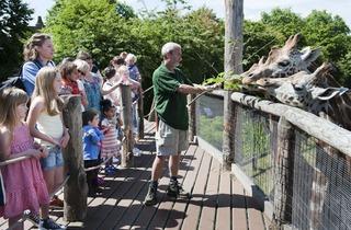 Giraffe feeding time (©David Jensen / ZSL)