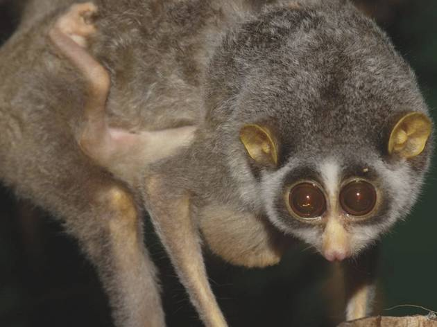 Slender loris carrying baby (© ZSL London Zoo)