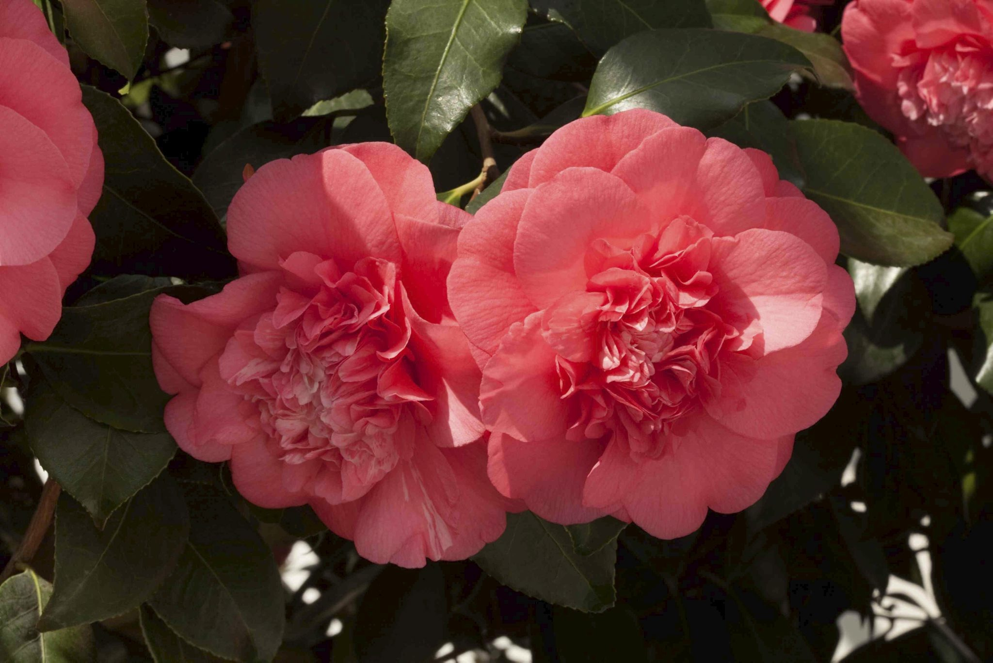 Chiswick House Camellia Show