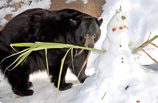 Black bear habitat at Snow Days.