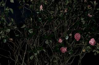 Sarah Jones ('The Rose Gardens (Display) (VI)', 2014)