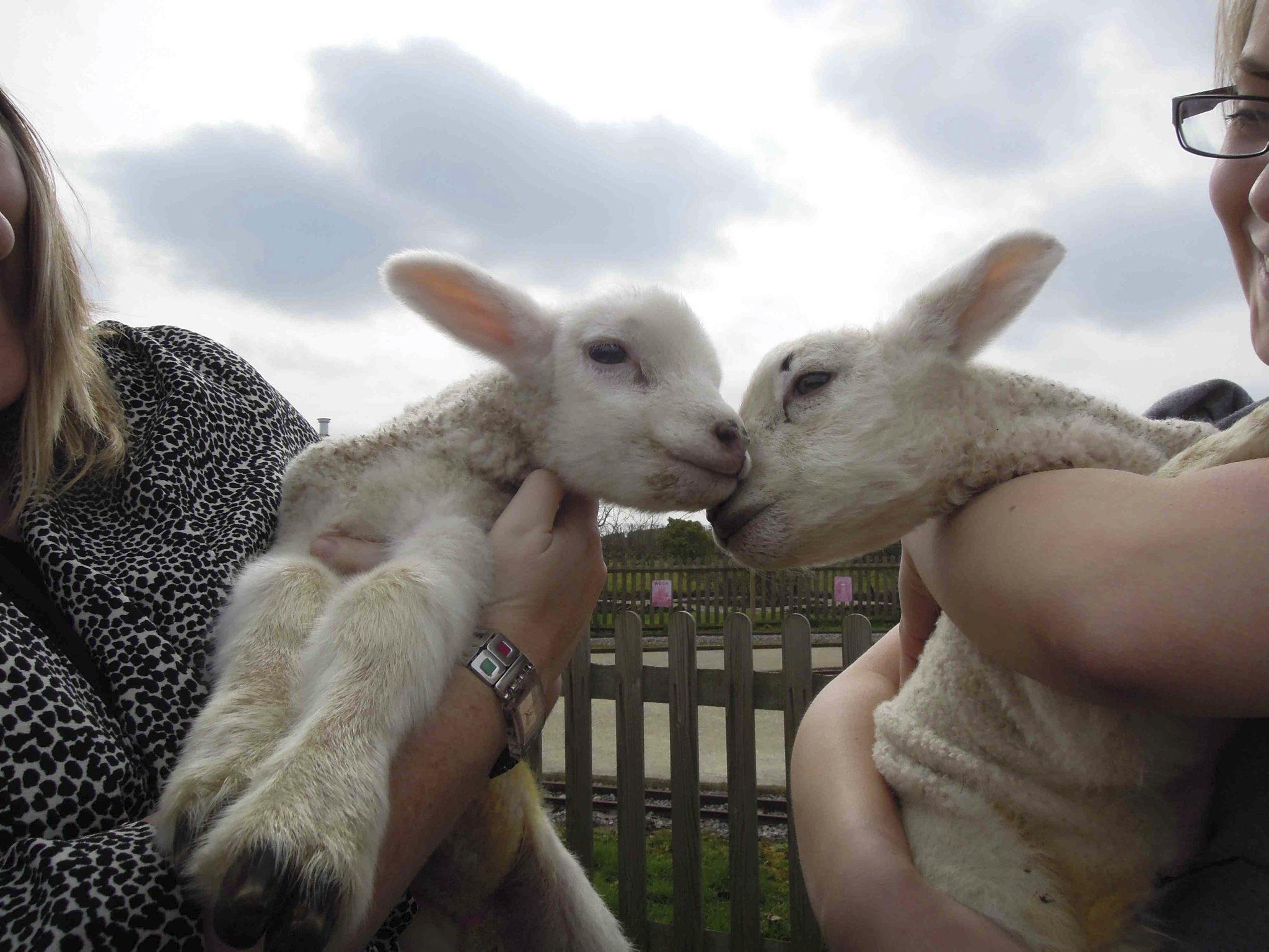 Brogdale, easter at brogdale, lambs