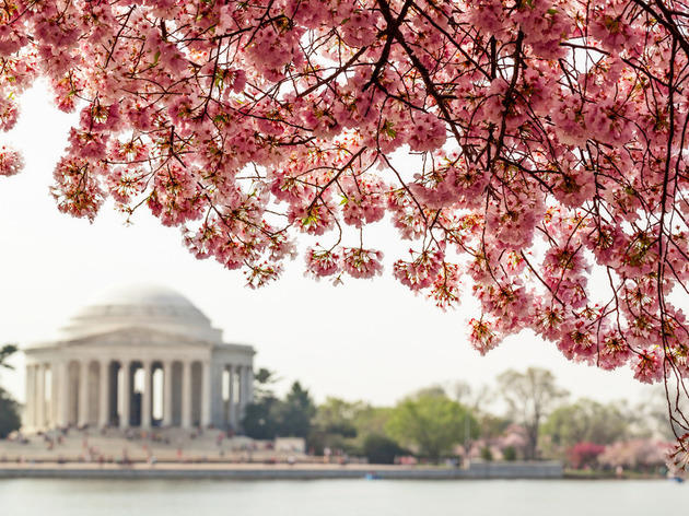 Celebrate spring at the National Cherry Blossom Festival