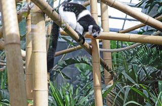 The lemur (© EChirache)