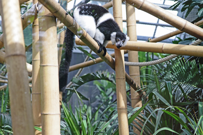 Zoo de Vincennes Paris lémurien propithèque