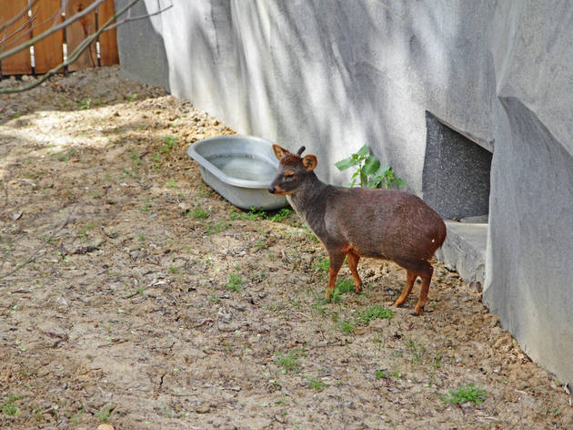 The pudú (© EChirache)
