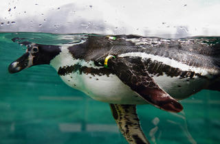 The Humboldt penguin (© EChirache)