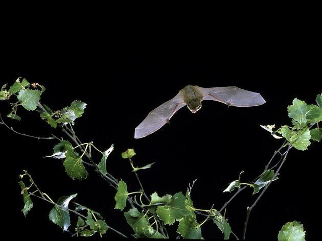 Pipistrelle bat, hyde park bat walk