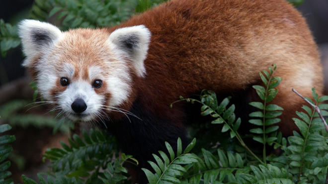 Drink beer to support the cutest animal at the zoo: the red panda.