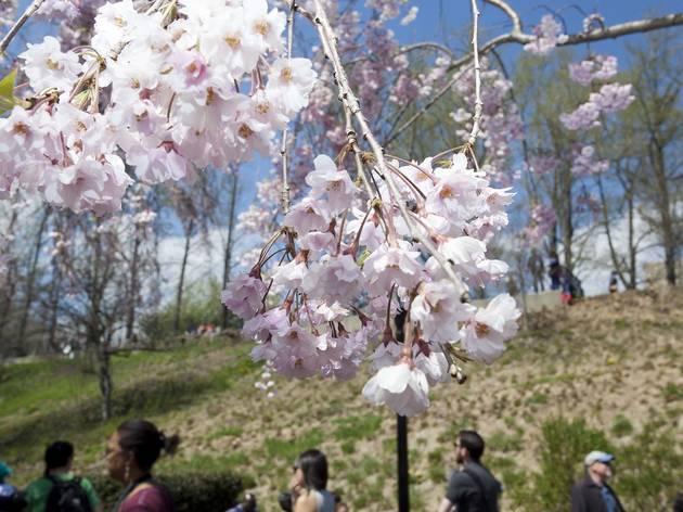 Check out these beautiful photos of 2014's Sakura Matsuri festival