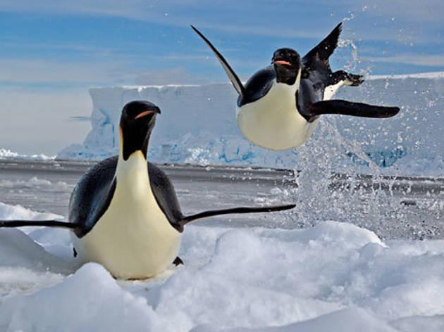 DOCfield>14: Pingüinos emperadores
