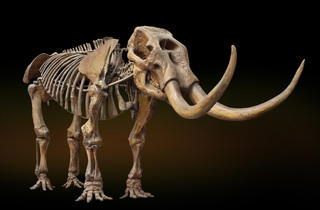 (Mastodon skeleton © Harry Taylor, NHM)