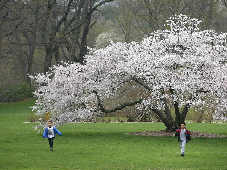 Smell the flowers at the Arnold Arboretum