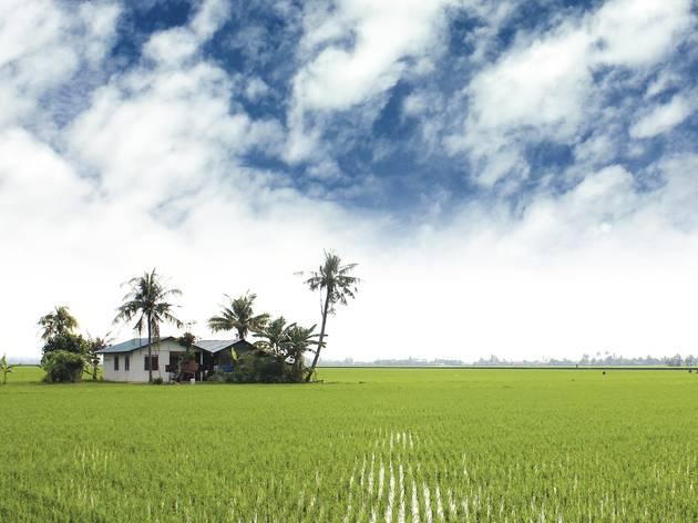 Sekinchan_paddy field