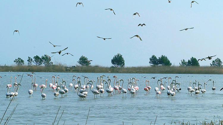 Flamencs al Delta de l'Ebre