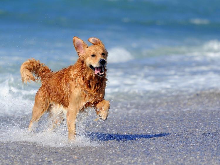 Gossos d'aigua