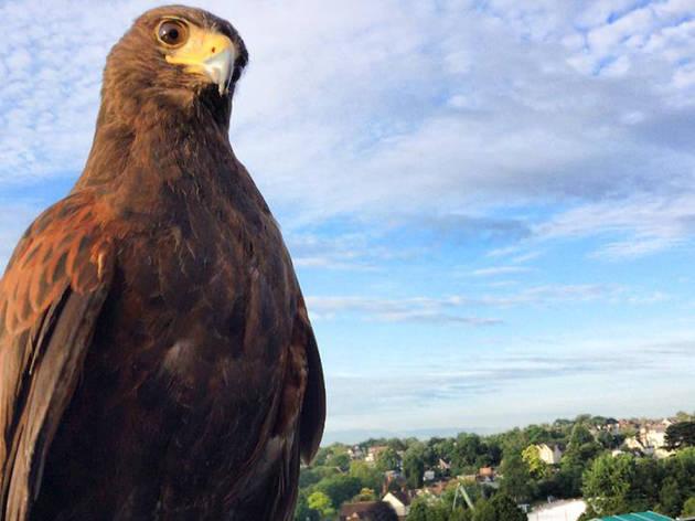 Meet Wimbledon's hawk, Rufus