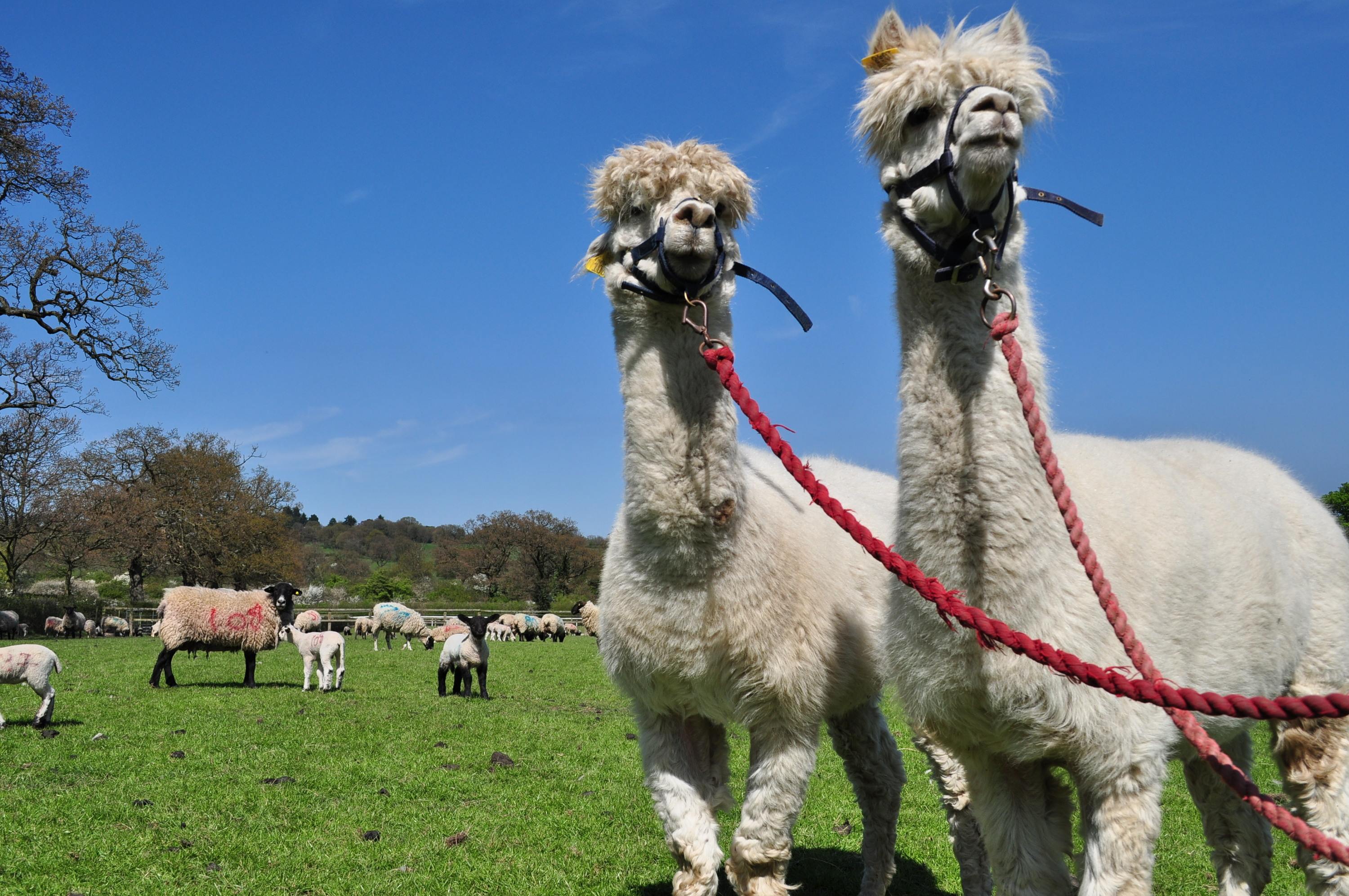Meet the city-dwelling alpacas