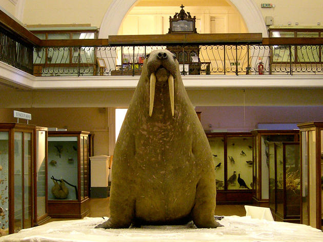 Meet the walrus at the Horniman Museum