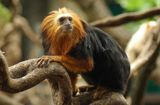(Golden headed lion tamarin © ZSL )