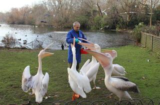 (Feeding the pelicans © Greywolf, The Royal Parks)