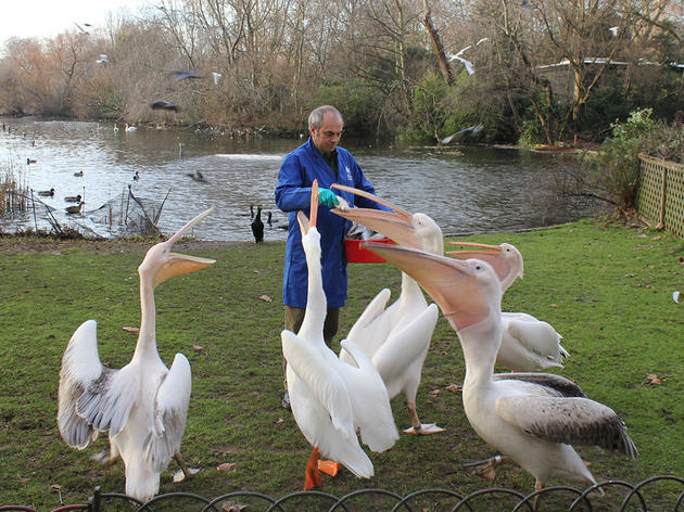 (Feeding the pelicans © Greywolf, The Royal Parks)