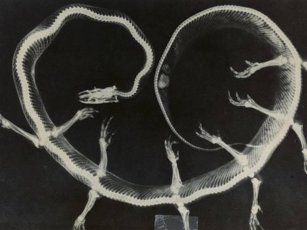 Joan Fontcuberta ('X-ray Solenoglypha Polipodida from the Fauna series by Joan Fontcuberta and Pere Formiguera)