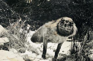 Joan Fontcuberta ('Alopex Stultus' from the Fauna series by Joan Fontcuberta and Pere Formiguera,)